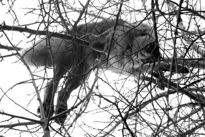 Још једна лисица одстрељена раније зимус.